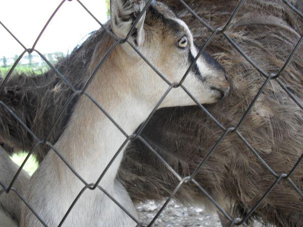 (600x450, 74Kb)Страусы против коз не возражают