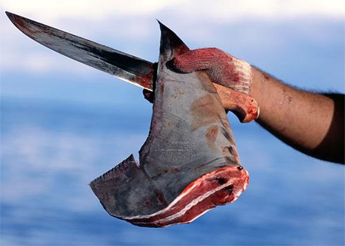 Акульи плавники – опасны!