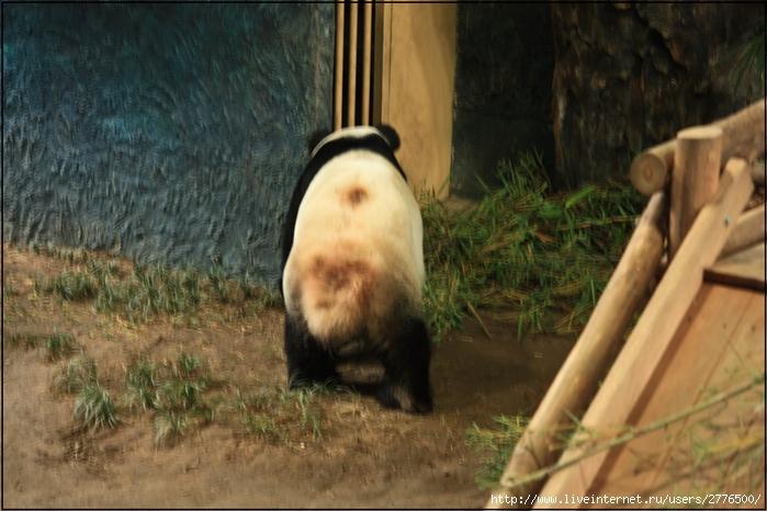 чиангмайские панды