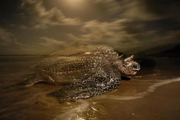 Жизненный цикл гигантских кожистых черепах
