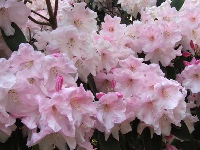 Сад Леонардсли - Leonardslee gardens 56544