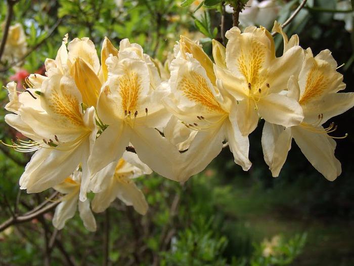 Сад Леонардсли - Leonardslee gardens 73380