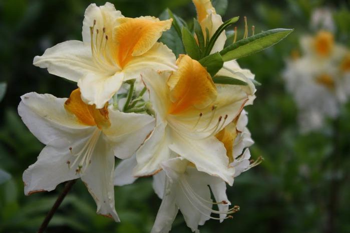 Сад Леонардсли - Leonardslee gardens 88092