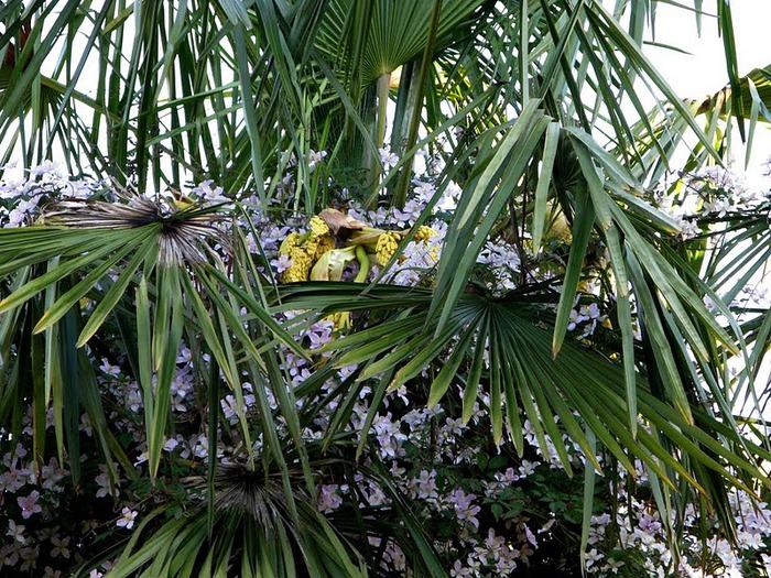Сад Леонардсли - Leonardslee gardens 24517