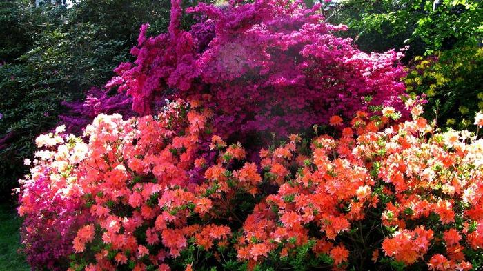 Сад Леонардсли - Leonardslee gardens 61065