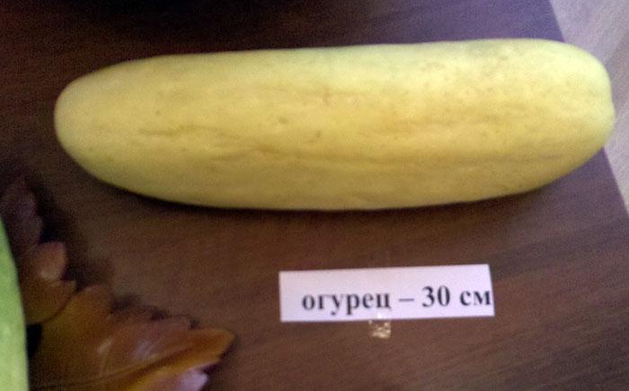 огурец 30 сантиметров фото с выставки дары природы