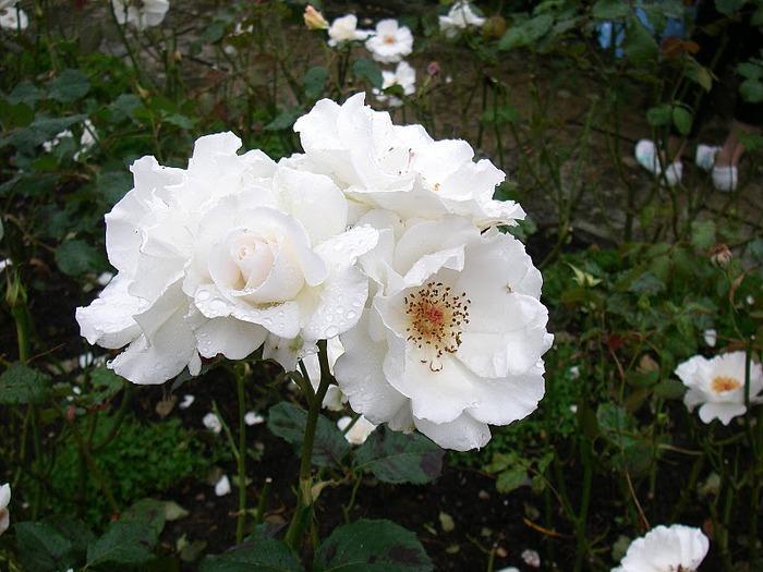образцовый сад – волшебный Bodnant Garden 46629
