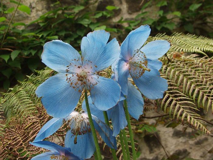 образцовый сад – волшебный Bodnant Garden 31423