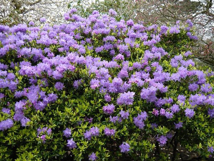 образцовый сад – волшебный Bodnant Garden 32186