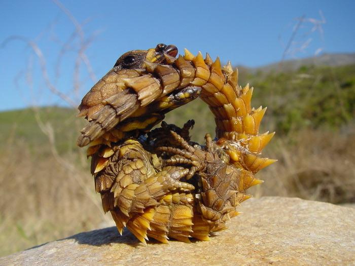 поясохвост - загадочная зверушка обитающая в дебрях мадагаскара и пустынях африканского континента