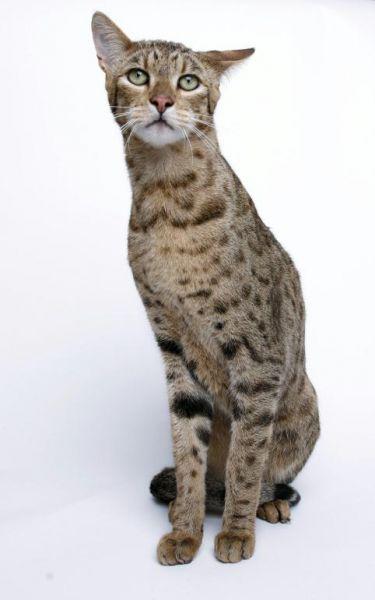 ашера - кошка леопард