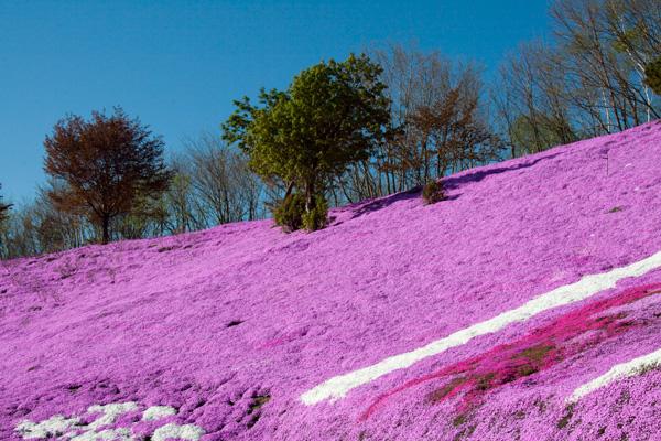 Higashi Mokoto Shibazakura Park 50011