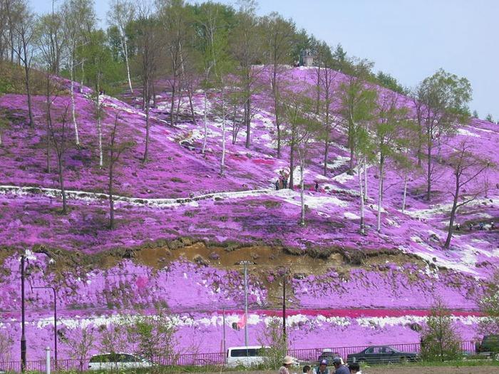 Higashi Mokoto Shibazakura Park 73949
