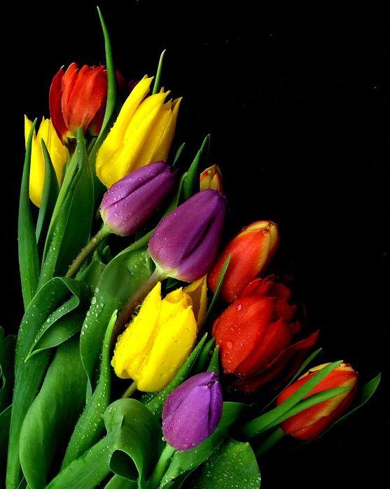 Красивое фото тюльпанов