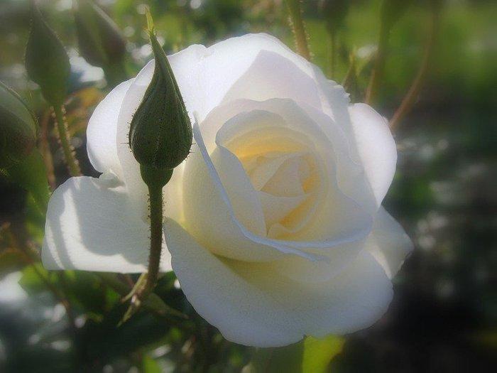 белые росы яндекс видео