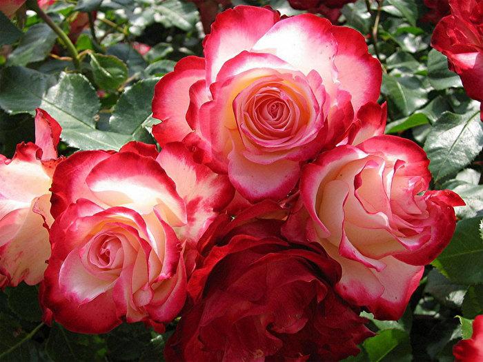 http://img1.liveinternet.ru/images/attach/c/1/49/296/49296623_46_roses.jpg