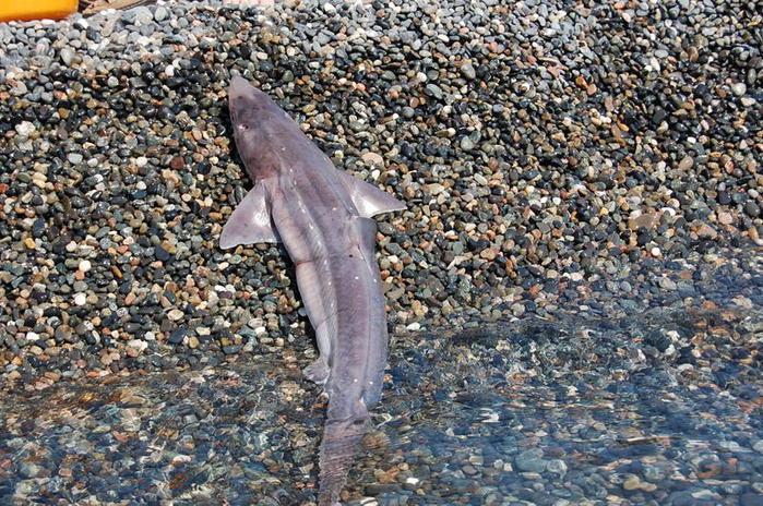 ...и леска 0... Катран (Черноморская акула).  Что иногда попадается при...