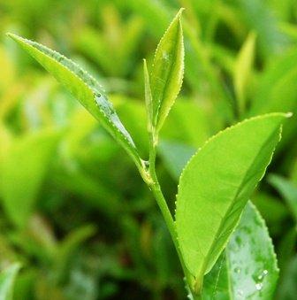 Продам Чай и чайные принадлежности оптом из Кит в России.