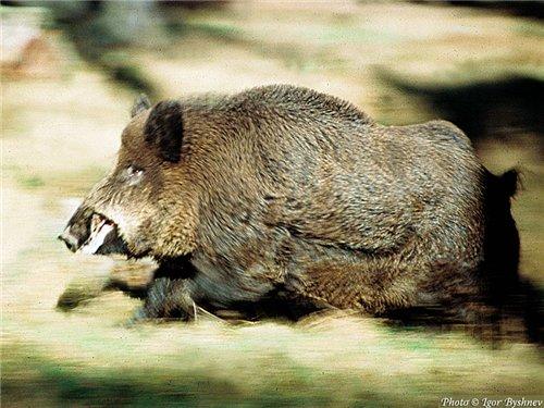 Berezinsky Biosphere Reserve Photo Gallery Wild boar.