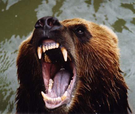 Фотография 'Пасть'.  Медведь.  Московский Зоопарк.