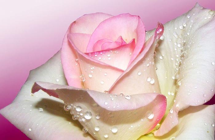 Роза королева цветов (59 фото) .