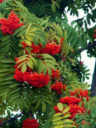 Рябина обыкновенная- Sorbus aucuparia L - невысокое дерево с гладкой темно- серой корой и округлой кроной семейства...