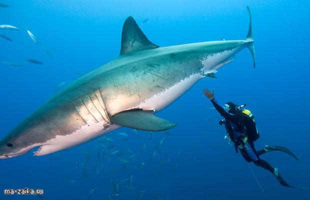 все о белых акулах видео моя