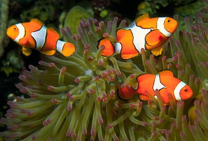 Рыбы-клоуны обычно невелики: в природе их размеры не превышают 12-13 см...