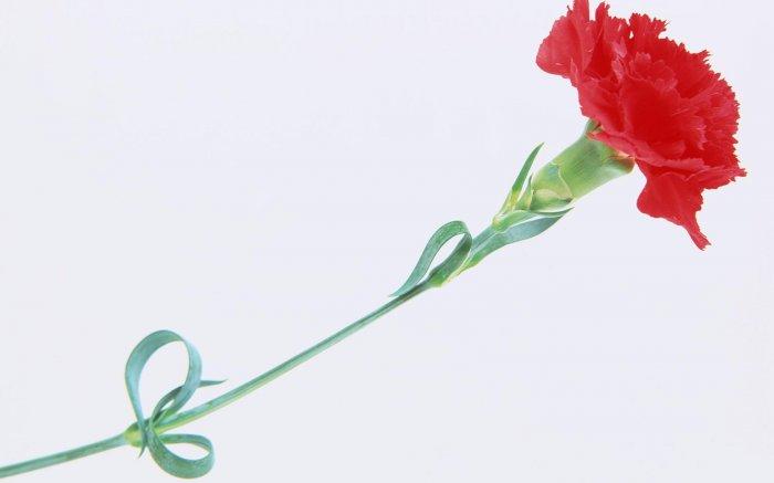 Картинки цветы гвоздики 4