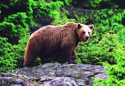 фото бурого медведя.