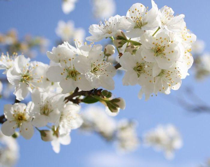 С ними о любви мы говорили.  Белые снега цветов весенних.  Яблони в цвету - весны творенье.