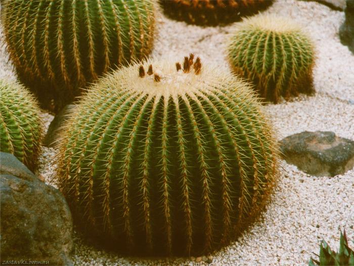 Не кода не задумывалась ,что от кактуса может быть столь пользы ,а оказывается много всего можно сделать из кактуса.