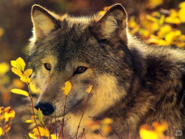 Волки друзья человека гордого и