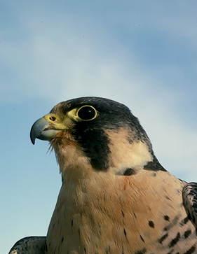 Полет сапсана стремителен, глаза зорки, броски на добычу стремительны и точны.  Охота сокола-сапсана за летящей птицей.