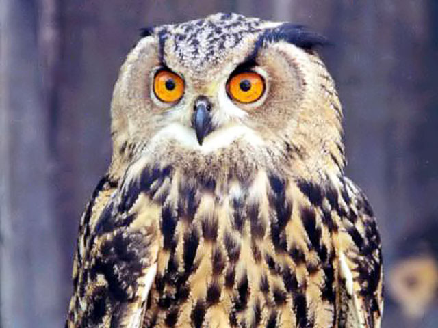 Сова Афины - птица ночная, птица тьмы и леса.