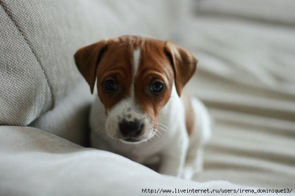 Внешне джек рассел терьер - это небольшая, сильная и гибкая собака прямоугольного формата с глубокой грудью и сильной...