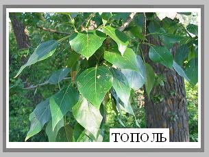 листок зеленый для меня возьми у тополя словом