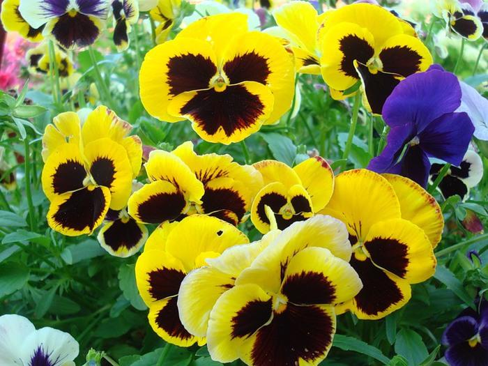Анютины глазки - не только цветы, Но с ними цветы можно спутать: Такой же прелестной они красоты, Красивые глазки...