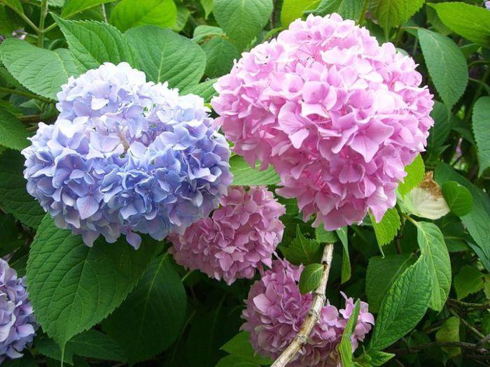 При определённых условиях её соцветия приобретают небесный, насыщенный голубой, цвет.