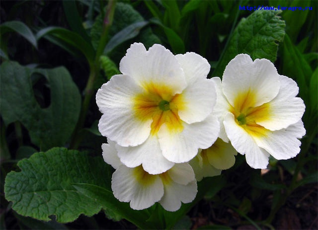 Семейство: Примуловые.  Этап цветения: Зависит от вида растения.