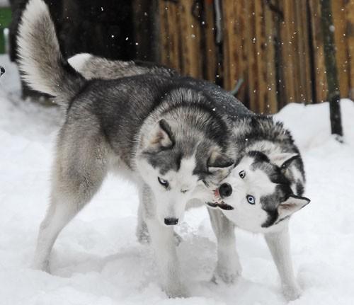 В Канеде хаски,называют любую ездовую собаку с хриплыл голосом.Предки...