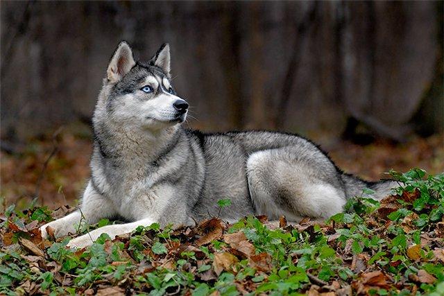 Глаза - это то, за что Хаски полюбились практически всем собаководам.