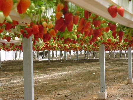 Что выгодно выращивать в теплицах на даче?