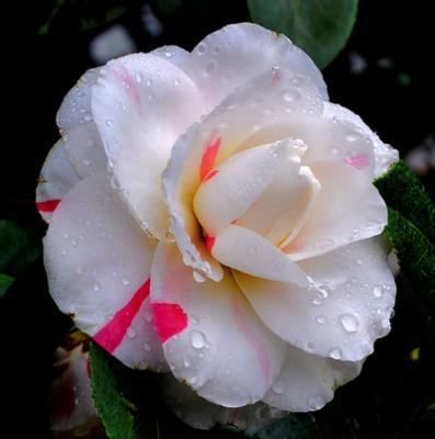 Камелия является одним из самых популярных садовых кустарников и это неудивительно.  Это растение не может не...