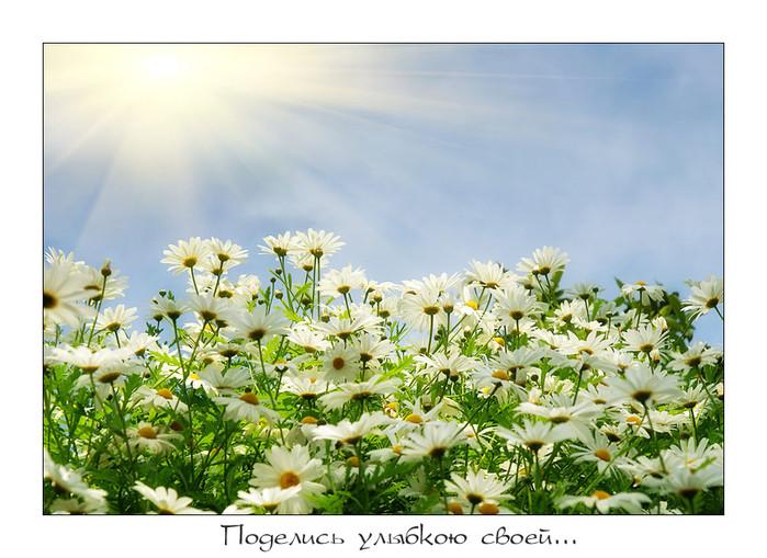 Рубрики ромашки мои любимые цветы