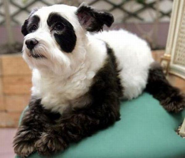 Встречала раньше такие фото.  Собаки-панды ниже - это фестиваль бодиарта...