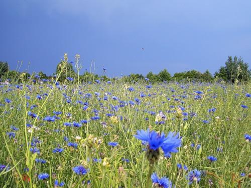 С 1968 года василёк синий является национальным цветком Эстонии.  В некоторых странах Европы известен под названием...