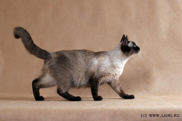 фото.  Теги.  Категория записи:Животные и растения. породы кошек.
