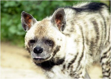 На фото эстонский тигр полосатая гиена.  Ниже выдержки из свежего интервью С.Лотилы.