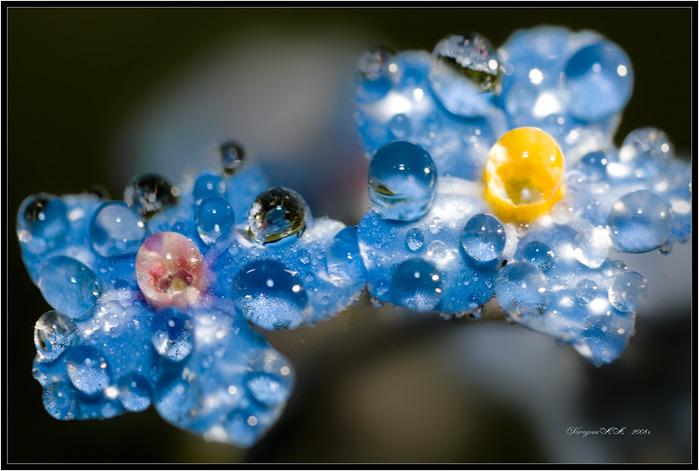 Богиня флоры-незабудка- Цветок печали и любви, Он как нежнейшая голубка, Он-украшение весны.  Лучи их сердце золотили...